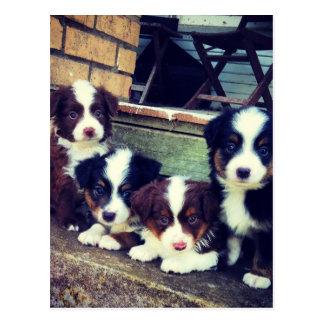 Puppy Love - Adorable  Australian Shepherds Postcard