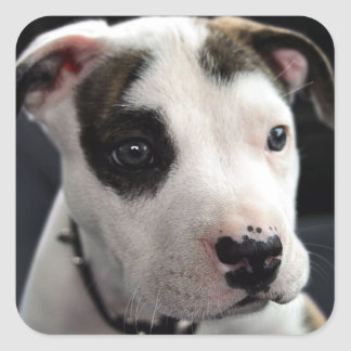 Puppy Pit Bull T-Bone Square Sticker