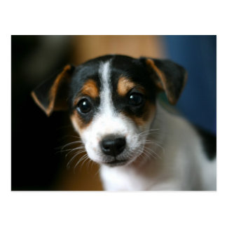 Puppy Postcard - Jack Russell Terrier