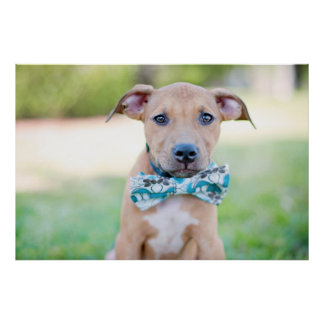 Puppy Wearing Bow Tie Poster