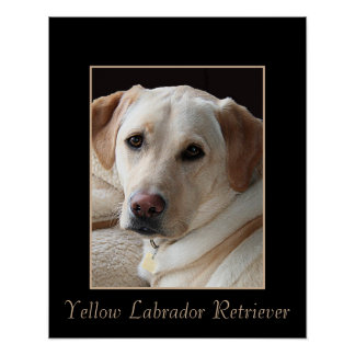Pure Bred Yellow Labrador Retriever Poster