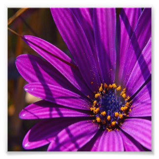 Purple African Daisy Close Up Photo Print