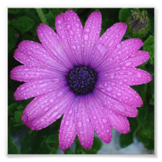 Purple African Daisy with Raindrops Photo Print