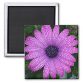 Purple African Daisy with Raindrops Square Magnet