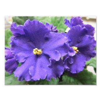 Purple African Violet Flowers Photo Art
