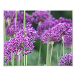 Purple allium flowers photograph