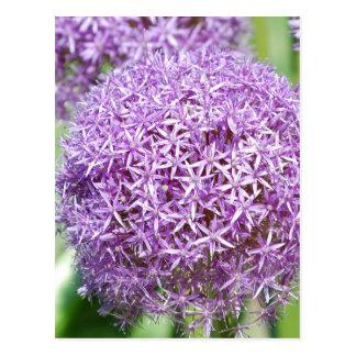 Purple Allium Flowers Postcard