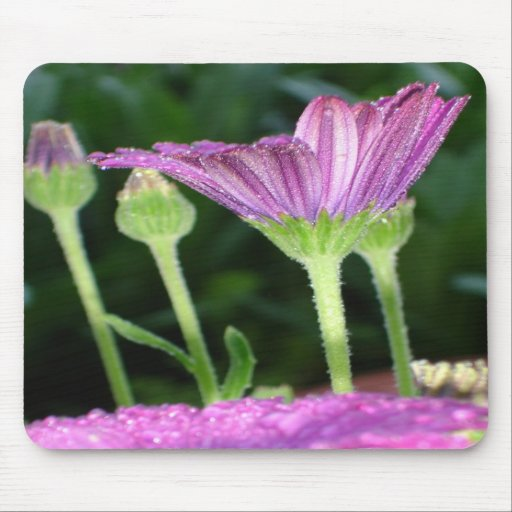 Purple And Pink Daisy Flower in Full Bloom Mousepads