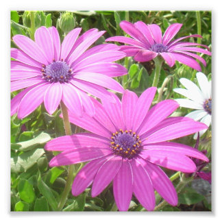 Purple And Pink Tropical Daisy Flower Art Photo
