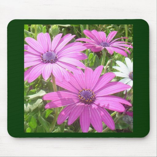 Purple And Pink Tropical Daisy Flower Mousepads