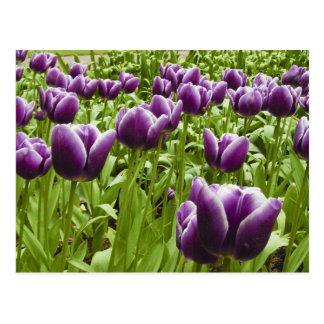 Purple and White Tulips Postcard
