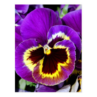 Purple and yellow pansy flower postcard