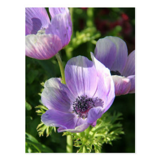 Purple Anemone Flowers Postcard