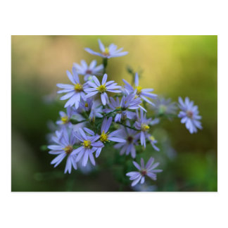 Purple Autumn Asters Floral Wildflower Postcard