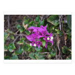 Purple Bougainvillea Photo Postcards