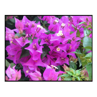 Purple Bougainvillea Postcard