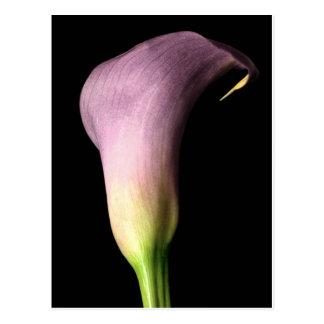 Purple Calla Lily Postcard
