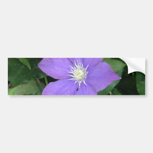 Purple Clematis Bumper Stickers