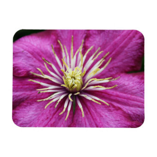 Purple Clematis flower in bloom during Spring Rectangular Photo Magnet