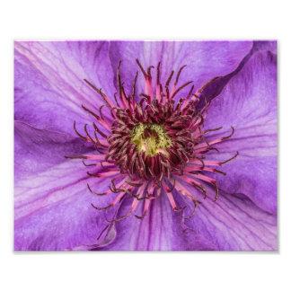 Purple Clematis Flower Photo