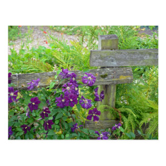 Purple clematis flowers on wooden fence postcard