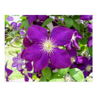 Purple Clematis Postcard