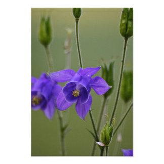 Purple Columbine Art Photo