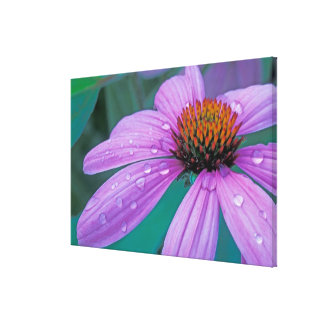 Purple Cone flower with water drops Stretched Canvas Prints