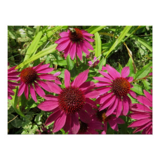 Purple Cone Flowers Posters