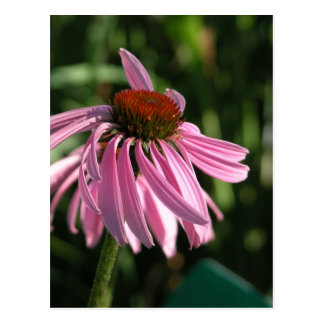 Purple Coneflower Postcard