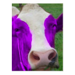 purple cow post card