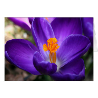 Purple Crocus - Early Spring Flower Card
