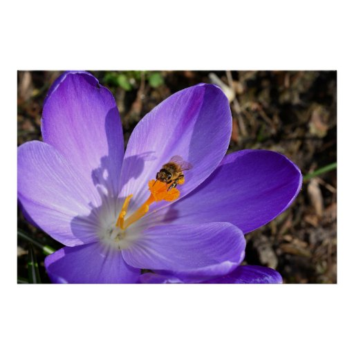 Purple crocus flower and a bee posters