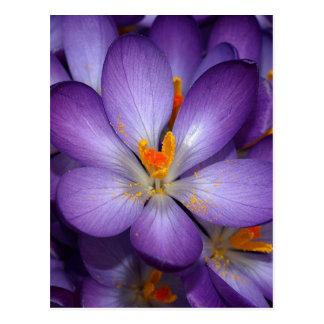 PURPLE CROCUS FLOWERS POSTCARD