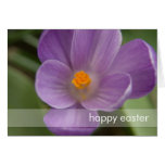 Purple Crocus PICT5930