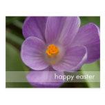 Purple Crocus PICT5930 Post Cards