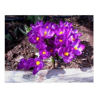 Purple Crocus Postcard