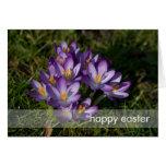 Purple Crocuses DSC5449