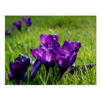 Purple crocuses postcard