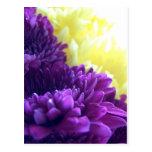 Purple Dahlias Postcard