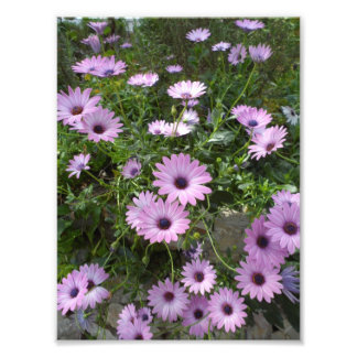 Purple daisies photographic print
