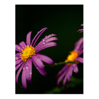 Purple Daisy Flower Postcard