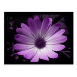Purple Daisy Flower Postcard