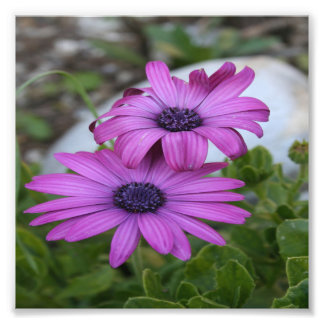 Purple Daisy Osteospermum Flowers Photograph