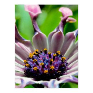Purple Daisy Postcard Gifts