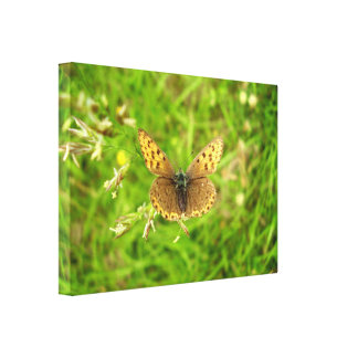 Purple Edged Copper Butterfly Canvas Print