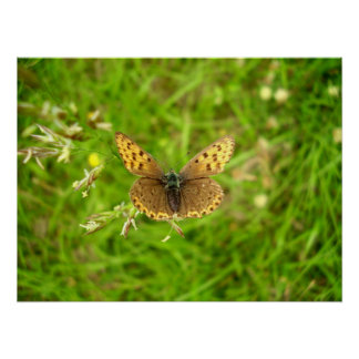 Purple Edged Copper Butterfly Poster