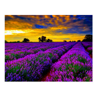 Purple Fields Postcard