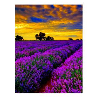Purple Fields Postcard