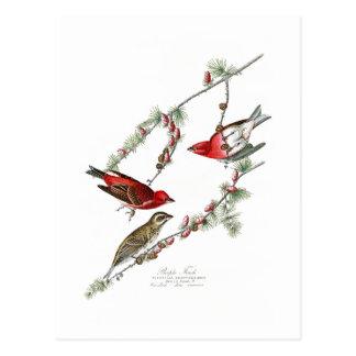 Purple Finch John James Audubon Birds of America Postcard